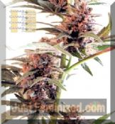 cannabiogen sandstorm female seeds of marijuana for sale